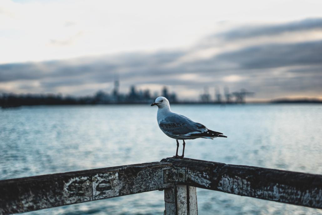 Auckland Bird