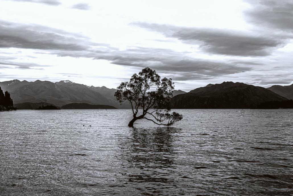 That Wanaka Tree Black and White
